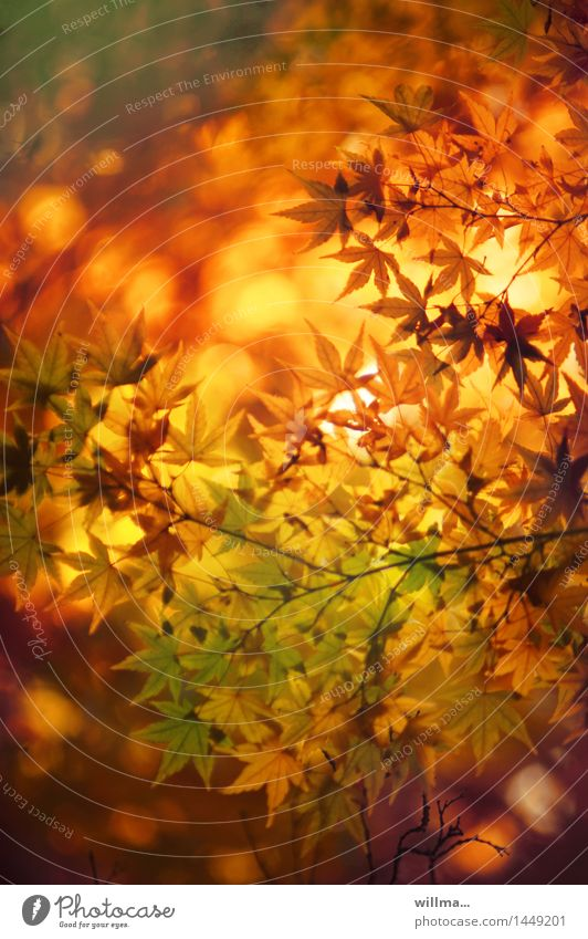 Nature Autumn Natural Beautiful weather Well-being Autumn leaves Autumnal Autumnal colours Bright Colours Japan maple tree Warm colour