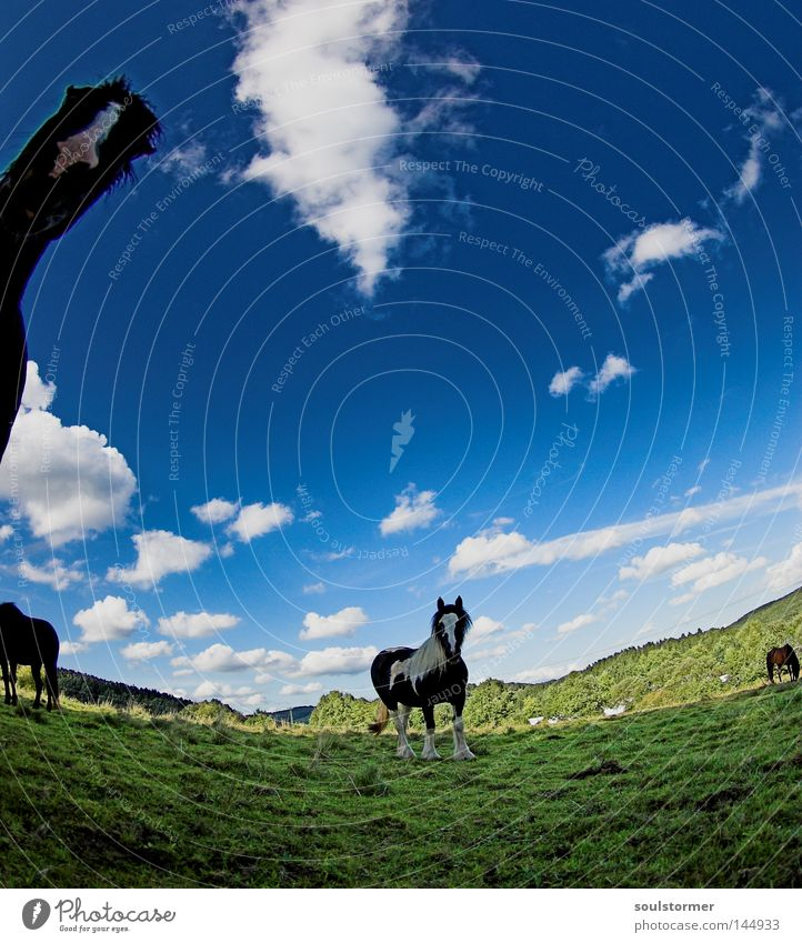 around the willow Horse Pasture Nature Sky Clouds Blue Green Iceland Pony Icelander Fisheye Warped Mountain Hill Hesse To feed Looking Curiosity Mammal