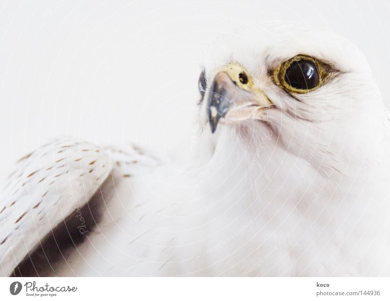 White Winter Eyes Snow Bird Feather Wing Brave Strong Museum Beak Eagle