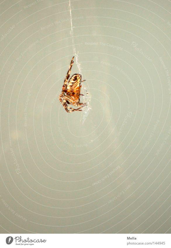 White Gray Wait Sit Observe Hang Spider Poison Stick Crouch Spider's web Sticky Cross spider