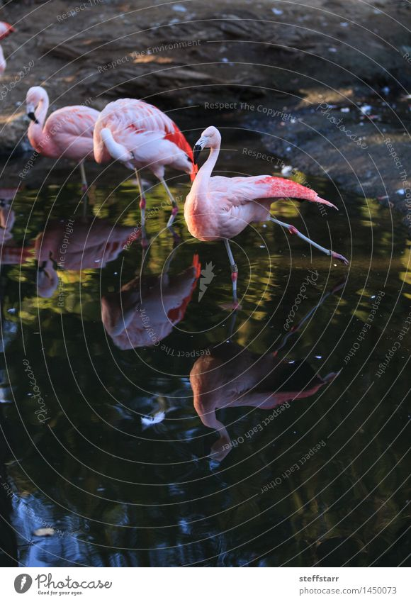 Chilean flamingo, Phoenicopterus chilensis Vacation & Travel Green Summer Water Animal Coast Bird Pink Tourism Wild animal Adventure Lakeside River bank Exotic