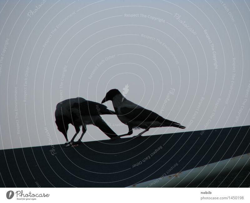 crow's titbit Sunrise Sunset Town Marketplace Bridge Roof Animal Wild animal Bird Crow 2 Pair of animals Dark Brash Together Curiosity Smart Black Death Envy