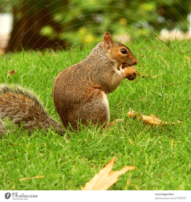 fast rodent Squirrel Park Animal To hold on Possessions Watchfulness Upper body Gray Feed Tight-fisted Avaricious Green Background picture Cute Sweet Soft