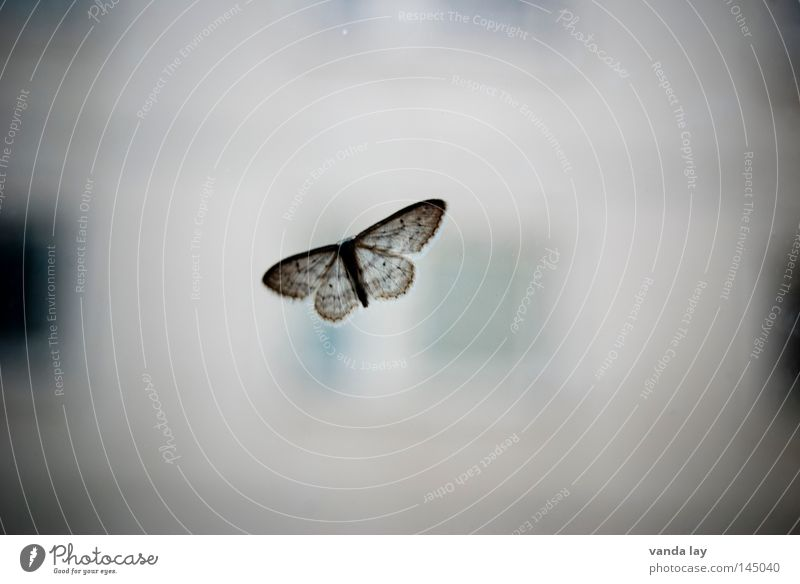 Old butterfly Butterfly Insect Animal Gray Moth Camouflage colour Window Near Nature Macro (Extreme close-up) Close-up enthusiasts Window pane Glass Flying Wing