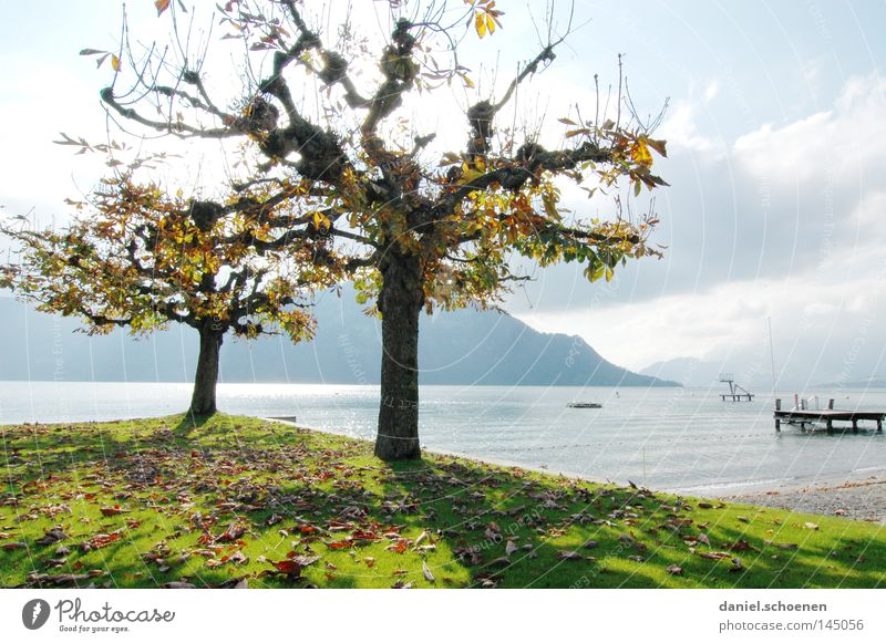 Low season 1 Autumn Tree Leaf Lake Mountain Switzerland Lake Lucerne Colour American Sycamore Twigs and branches Tree trunk Seasons Light Yellow Orange Brown