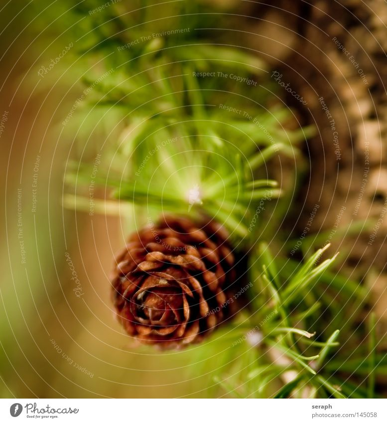 Larch Cone Nature Christmas & Advent Green Tree Plant Flower Leaf Winter Autumn Brown Background picture Growth Decoration Branch Blossoming Seasons