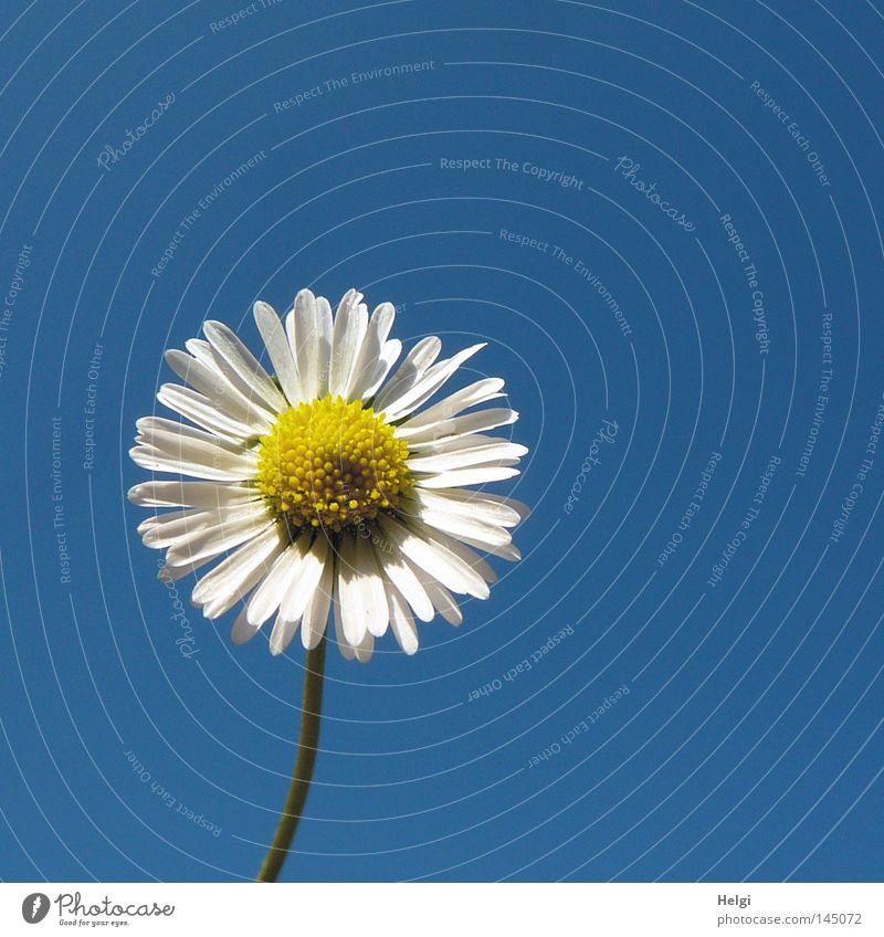 Blossom of a daisy in sunlight against a blue sky Colour photo Exterior shot Close-up Deserted Copy Space right Copy Space top Neutral Background Day Contrast