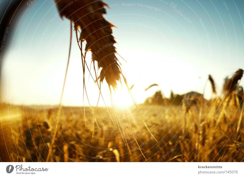 golden sheaves Wheat Grain Grain alcohol Energy Power Force Sunrise Ear of corn Agriculture Agricultural crop Cereals Corny Countries Beautiful weather Field