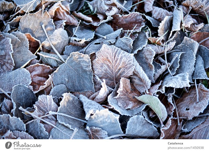 hoarfrost Nature Solar eclipse Sunlight Beautiful weather foliage Garden Park Forest Esthetic Blue Brown Gold Gray Pink Silver White Variable carpet of leaves