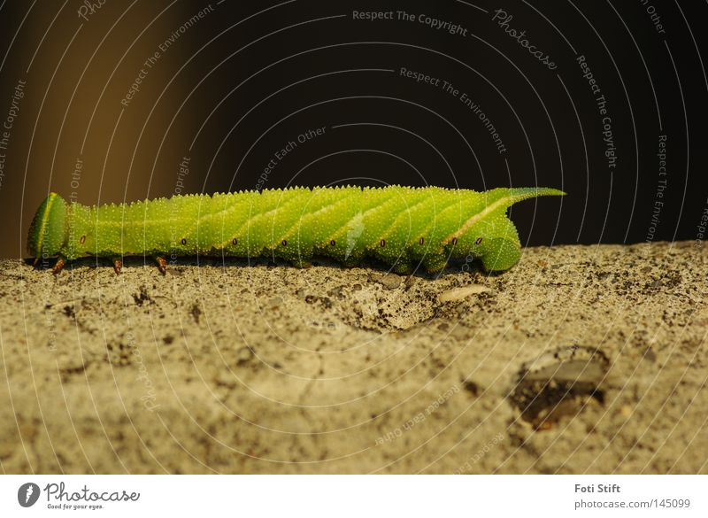 Your way 2 Caterpillar Yellow Green Wall (barrier) Butterfly Macro (Extreme close-up) Insect Joy Close-up enthusiasts