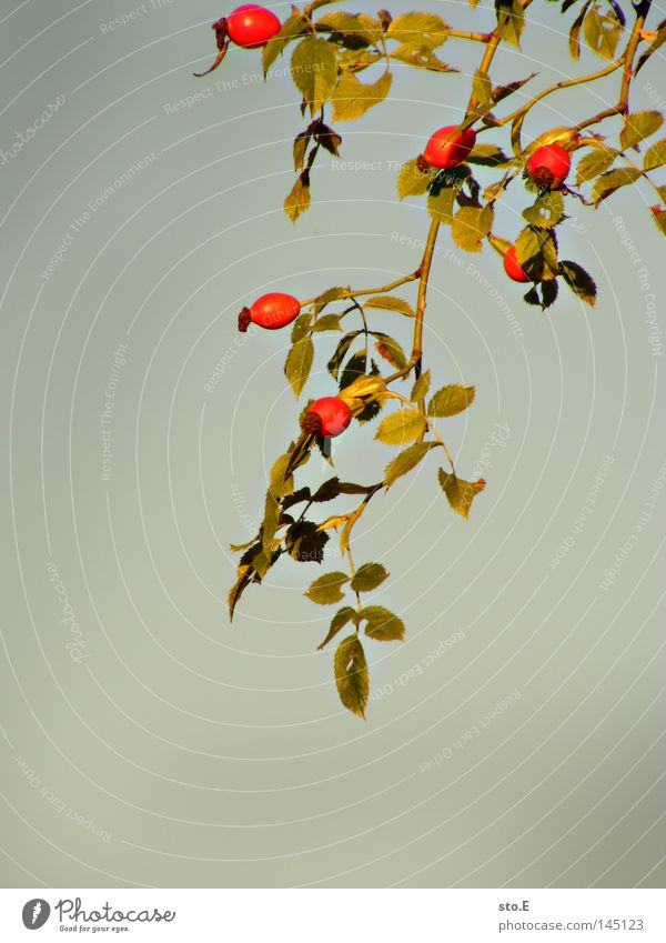 Nature Green Red Plant Summer Leaf Nutrition Autumn Food Gray Blossom Lighting Background picture Fruit Gloomy Rose