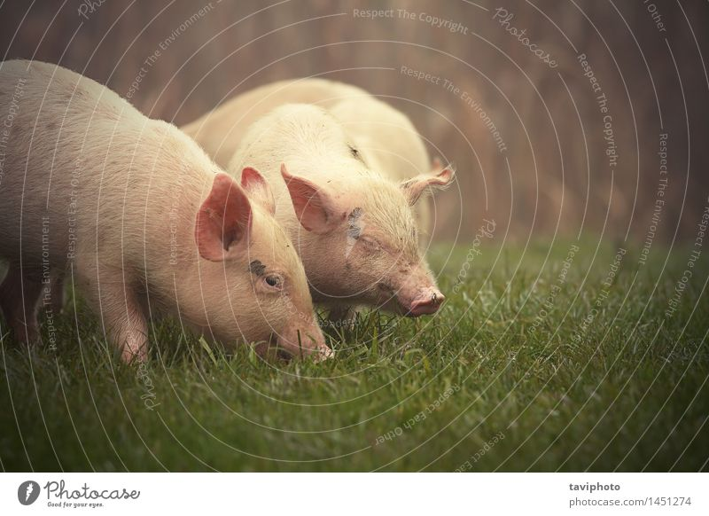 little pigs on meadow Eating Happy Baby Nature Animal Grass Meadow Pet Baby animal Dirty Free Small Funny Cute Green Pink Appetite Pigs Swine young Farm bio