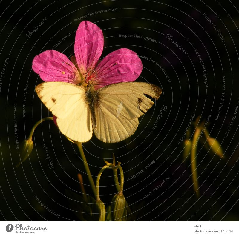 butterfly eyes Butterfly Blossom Blossom leave Plant Break Relaxation Pattern Feeler Trajectory Insect Flying insect Living thing Animal Camouflage Wing Judder