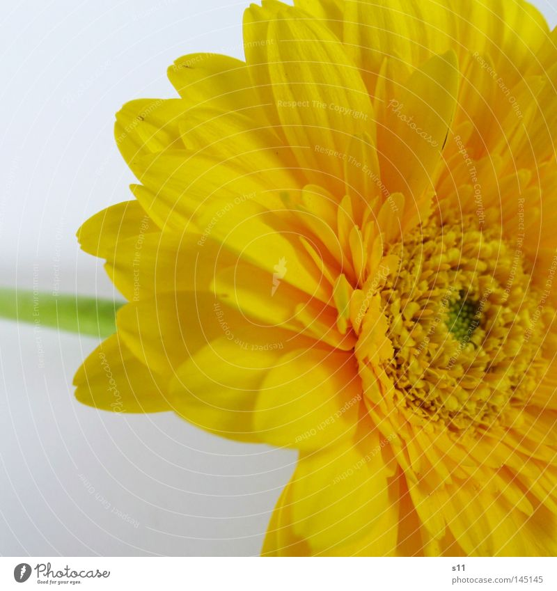 Nature Flower Plant Summer Yellow Blossom Bright Stalk Middle Bouquet Blossom leave Gerbera Florist Wreath Flower shop