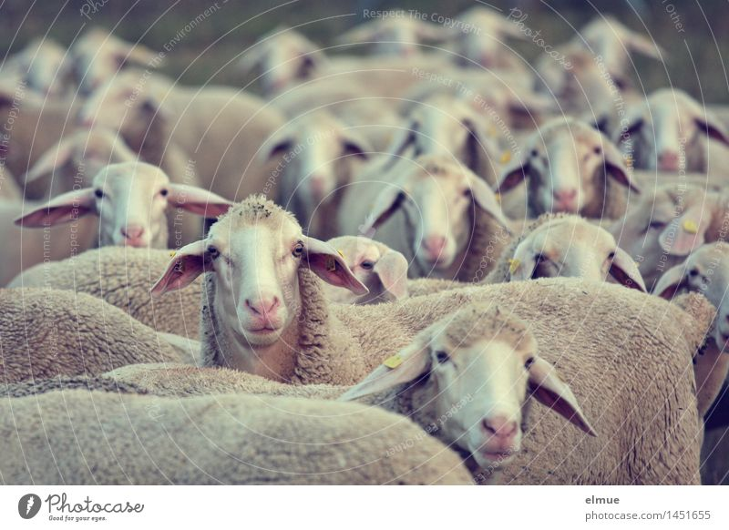 Amelie and her girlfriends Farm animal Sheep Flock Sheepskin Altocumulus floccus sleeping aid sheep counting mowing works Observe Advice Looking Stand