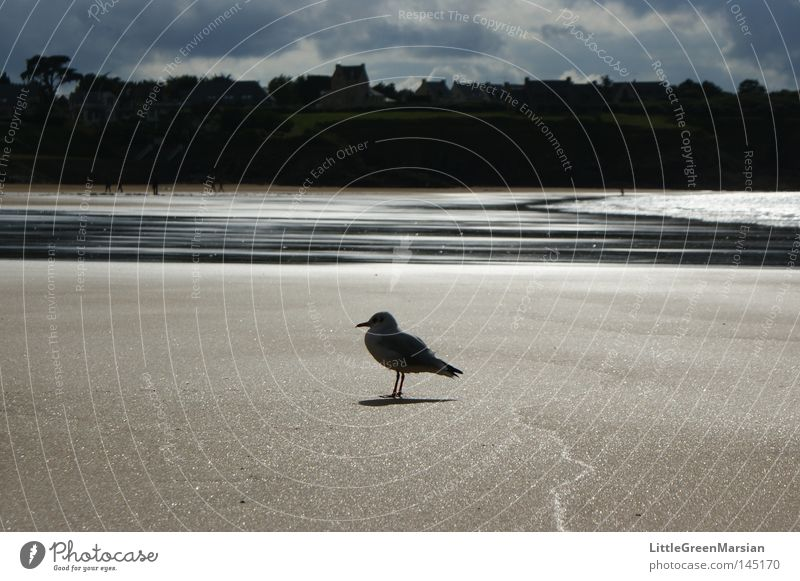 lone seagull Seagull Bird Beach Sand Water Ocean Low tide Tide Reflection Back-light Shadow Coast House (Residential Structure) Rock Clouds Plain Brittany