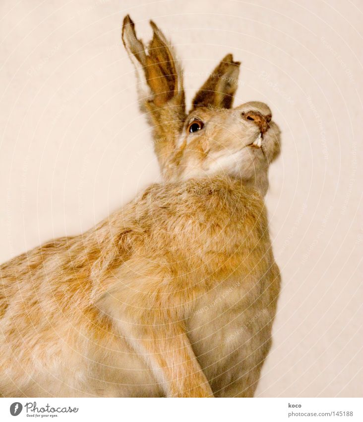 rabbit ear Hare & Rabbit & Bunny Pelt Broken Brown Mammal Transience Museum Death Ear Looking Easter Bunny