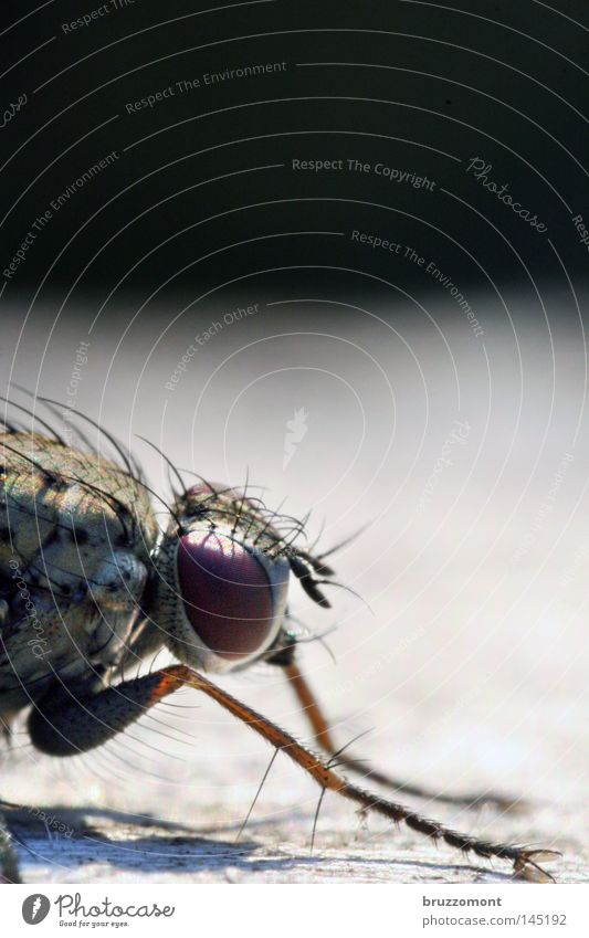 Fly from the right Macro (Extreme close-up) Insect Head Eyes Compound eye Silhouette Profile Hair and hairstyles Thigh Close-up Copy Space