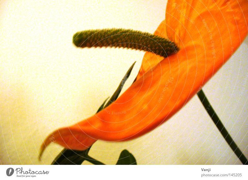 unequivocal! Flower Plant Stalk Blossom Green Transience Nature Orange phallus icon Retro stamina Phallic symbol