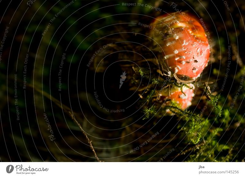Fly agaric jr. Mushroom Amanita mushroom Poison Unhealthy Harmful to health Woodground Moss Twigs and branches Green Brown Spotted Dappled Patch Point Nature