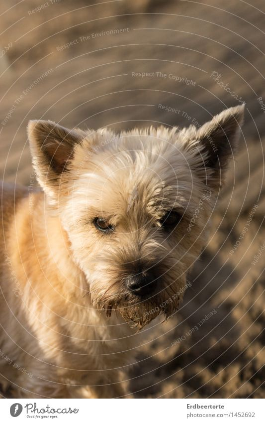 critical Animal Pet Dog Animal face Terrier 1 Observe Cuddly Small Brown Watchfulness Beach Sand Cute Ear Colour photo Subdued colour Exterior shot