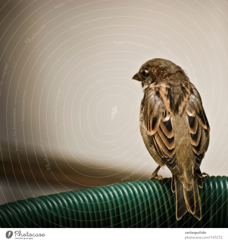 Bird Nature Animal Feather Wing Media Sparrow Free