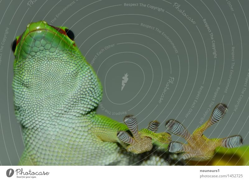 Green White Animal Black Movement Going Observe Animal face Claw Stick Scales Saurians Doze Gecko