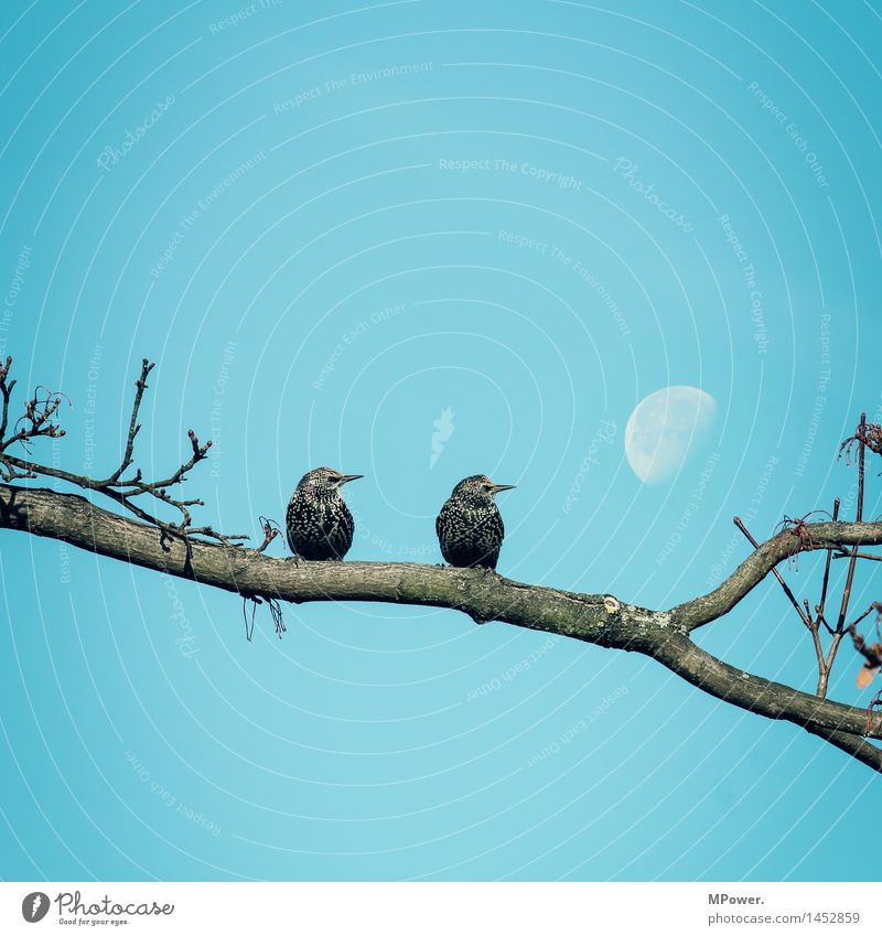 2 stare(s) to the moon Environment Cloudless sky Beautiful weather Bright Moon Bird Starling Sit Romanesque Branch Tree Looking Perspective Blue Couple