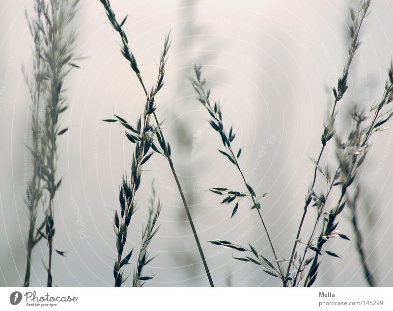 Romantica Grass Blade of grass Ear of corn Blue White Romance Fog Haze Calm Summer Cross Crossed Muddled Bluish depth blur