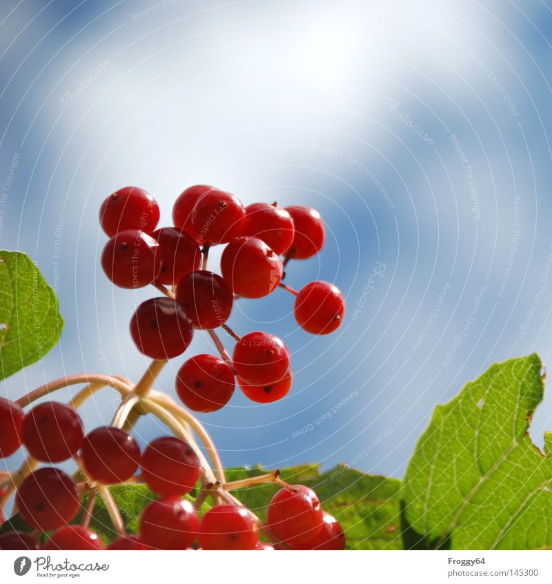 Sky Tree Green Blue Plant Red Summer Clouds Nutrition Park Germany Food Fruit Bushes Stalk Berries