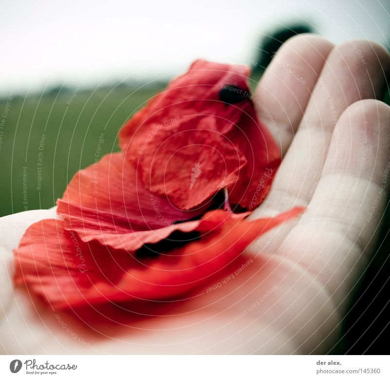 Hand Green Red Life Cold Death Fingers Delicate To hold on Concentrate Poppy Easy Pallid Poppy leaf