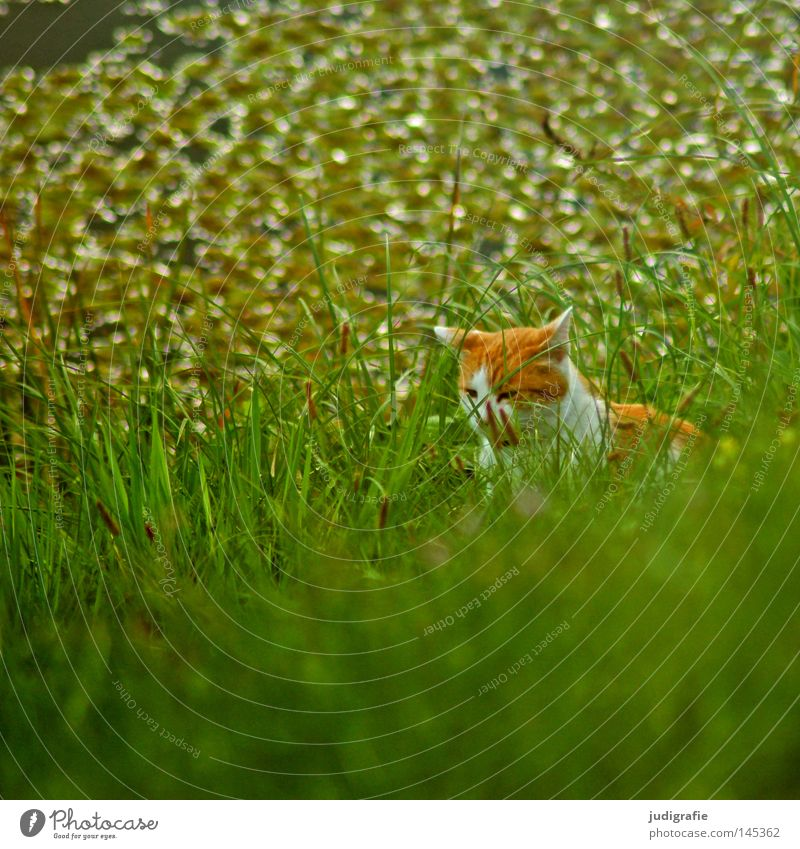 Cat in the grass Grass Meadow River bank Elbe Elbaue Body of water Life Nature Hide Observe Hunting Pet Domestic cat Green Fresh Colour Mammal on the lookout