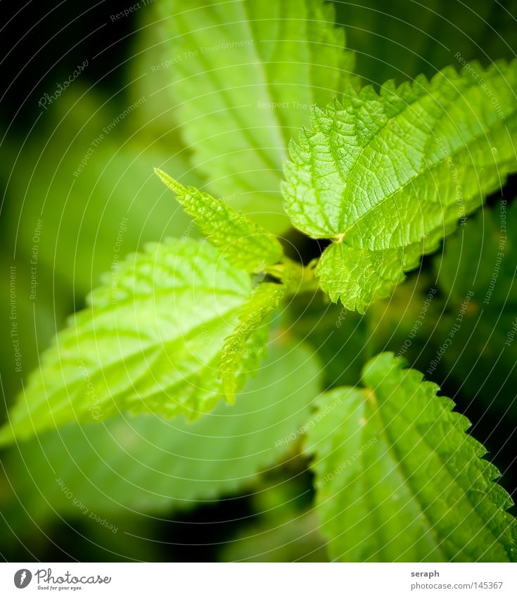 Nature Green Plant Environment Healthy Growth Point Burn Botany Ecological Biology Alternative medicine Verdant Prongs Medicinal plant