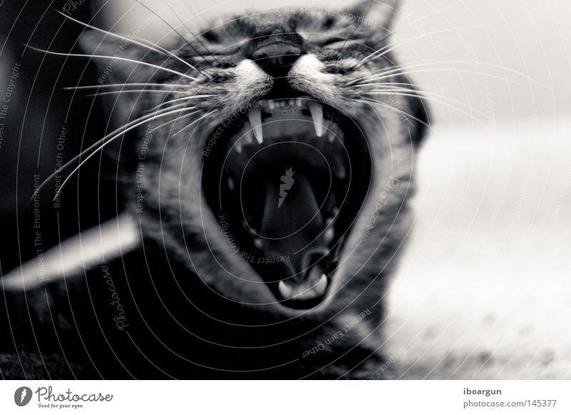 Cat Animal Hair and hairstyles Wild animal Lie Pelt Odor Pet Mammal Whisker Cuddly toy Yawn Meow Big cat Nineties