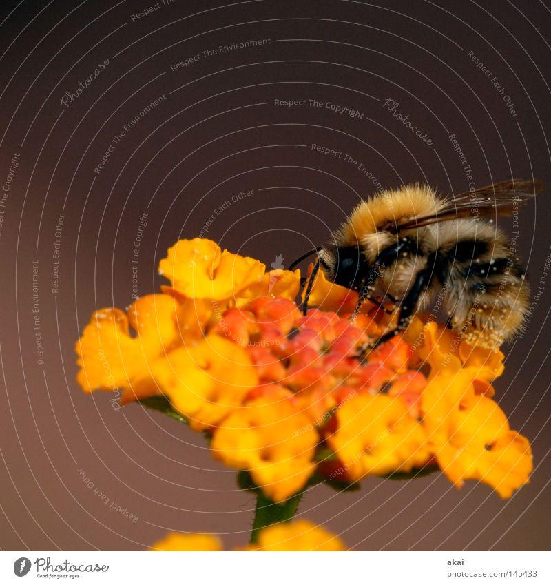 Last Bee 2008..........250! Flower Blossom Yellow sage Sprinkle Pollen Honey Honey bee Stamen Orange Wing Macro (Extreme close-up) 5,000 Close-up Transience