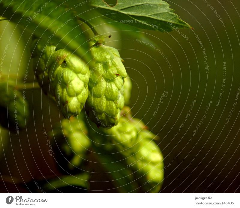 Beer? Hop Plant Nature Green Growth Environment Brewery Eyebrow Mixture Raw material Food Macro (Extreme close-up) Close-up hop wild at the same time no