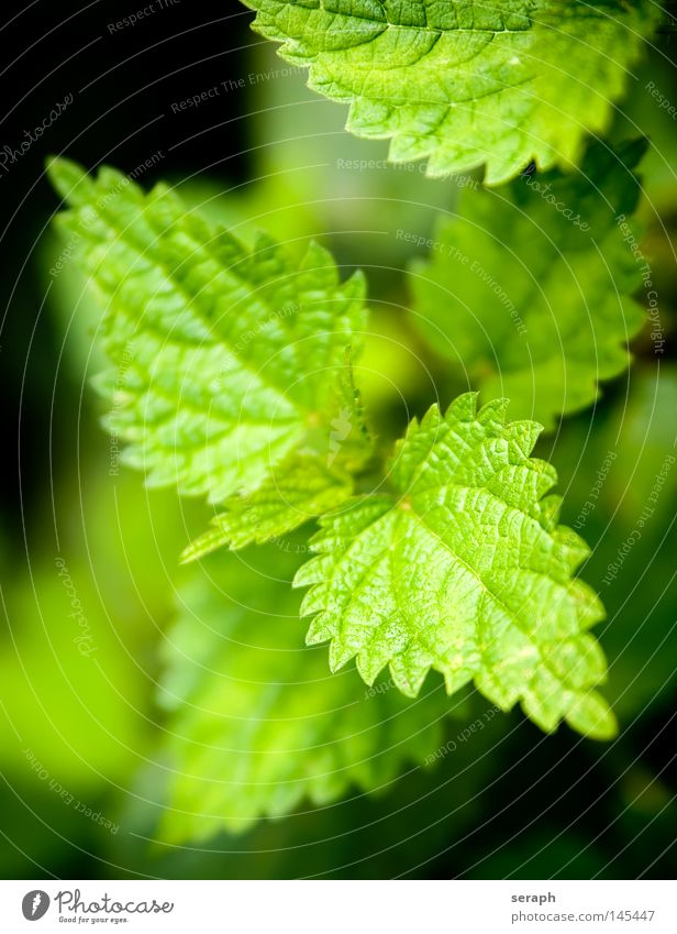 Stinging Nettle Nature Green Plant Leaf Black Dark Environment Healthy Growth Point Burn Botany Ecological Biology Verdant Prongs