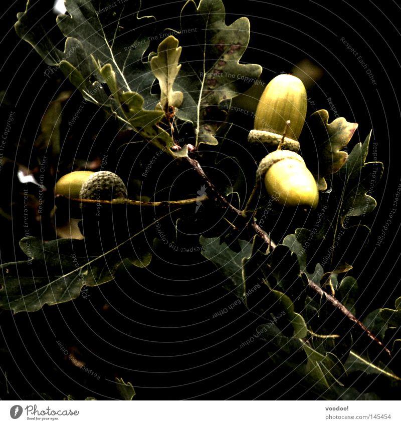 Nature Tree Plant Leaf Black Dark 3 Branch Desire Twig Oak tree Acorn