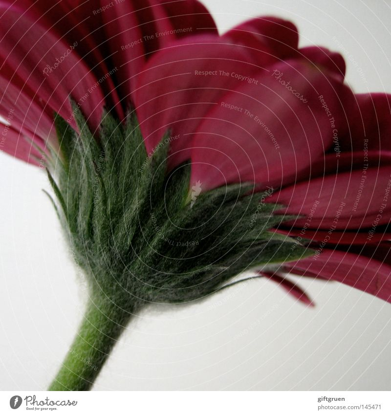 Nature Plant Green Flower Red Blossom Spring Growth Blossoming Blossom leave Gerbera Reddish green