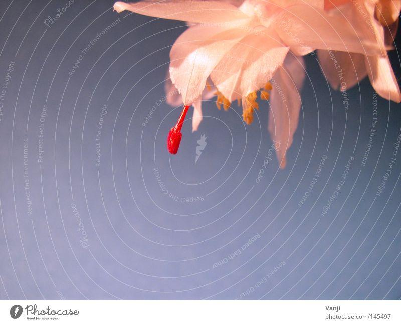 Nature Red Plant Blossom Glittering Delicate Stalk Cactus