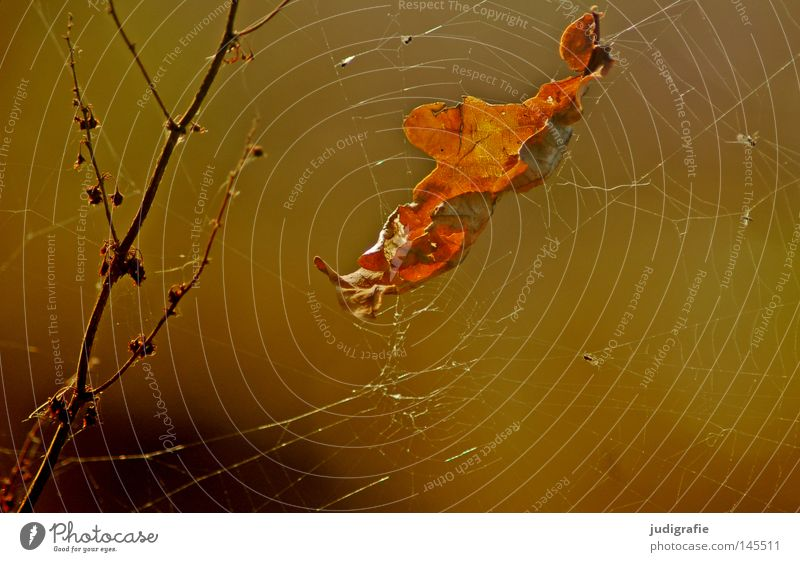 Autumn Leaf Oak leaf Oak tree Deciduous tree Spider's web Branchage Twigs and branches Nature Environment Beautiful Plant Glittering Colour Net Autumnal