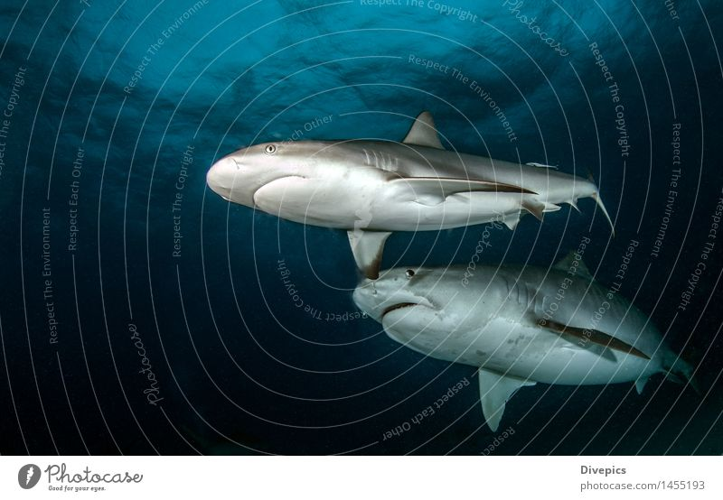 Shark diving Nature Blue Summer Water Ocean Animal Life Sports Dangerous Fish Deep Dive Tropical Coral Bahamas