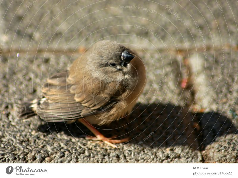Calm Relaxation Small Bird Brown Flying Feather Break Beak Sing Practice Crash Poultry Chirping