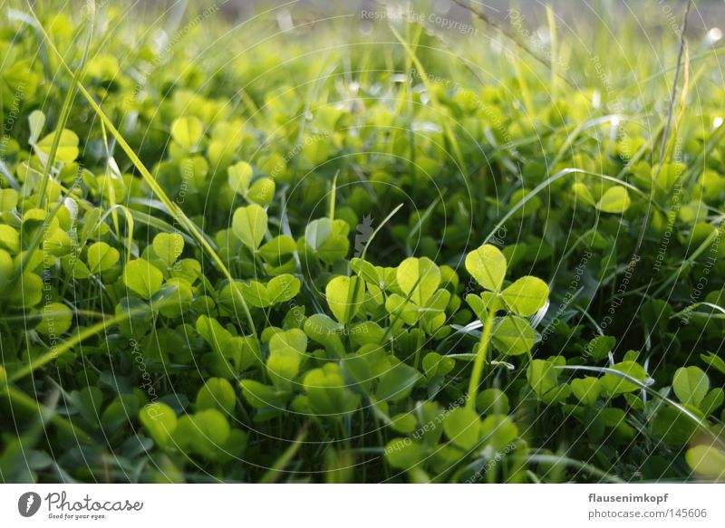 Nature Green Meadow Grass Fresh Depth of field Flower Clover Cloverleaf Leaf green