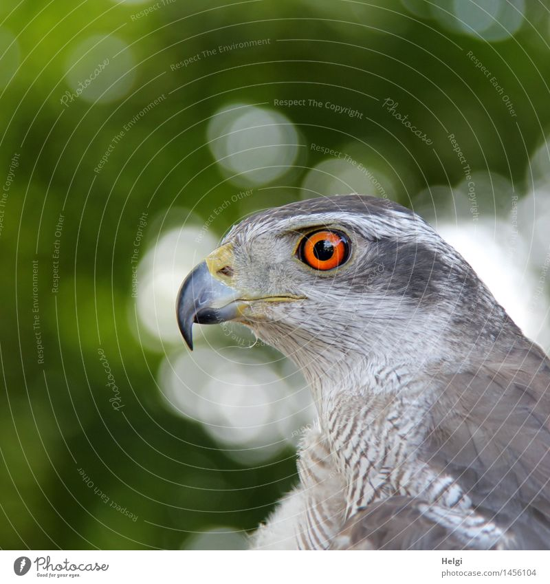watchful... Environment Nature Animal Summer Wild animal Bird Animal face Goshawk 1 Observe Looking Wait Esthetic Beautiful Uniqueness Natural Gray Green Orange