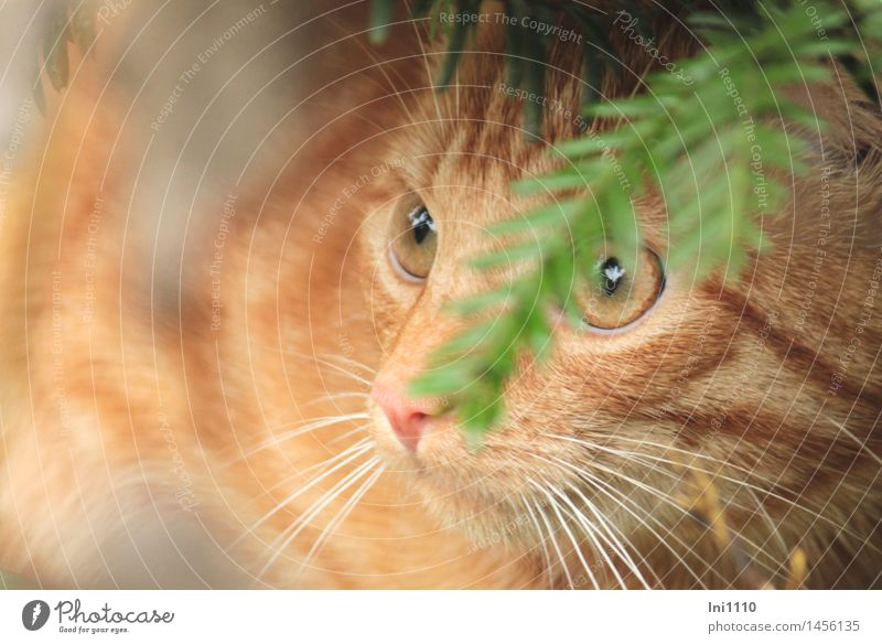 Red tomcat Autumn Weather Plant Tree taxus Garden Animal Pet Cat red-haired cat 1 Observe Discover Glittering Looking Wait Beautiful Brown Green Orange White