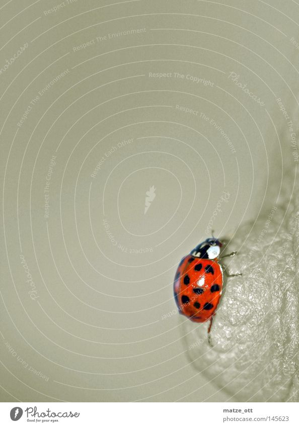 Animal Insect Chest Beetle Ladybird Macro (Extreme close-up)