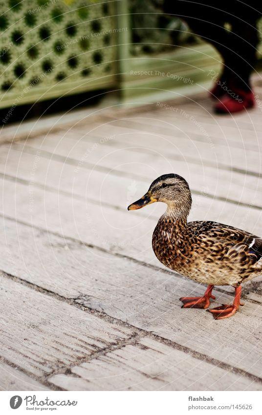 Autumn Wood Bird Bridge Feather Duck Beak Potsdam Animal Chateau Sanssouci