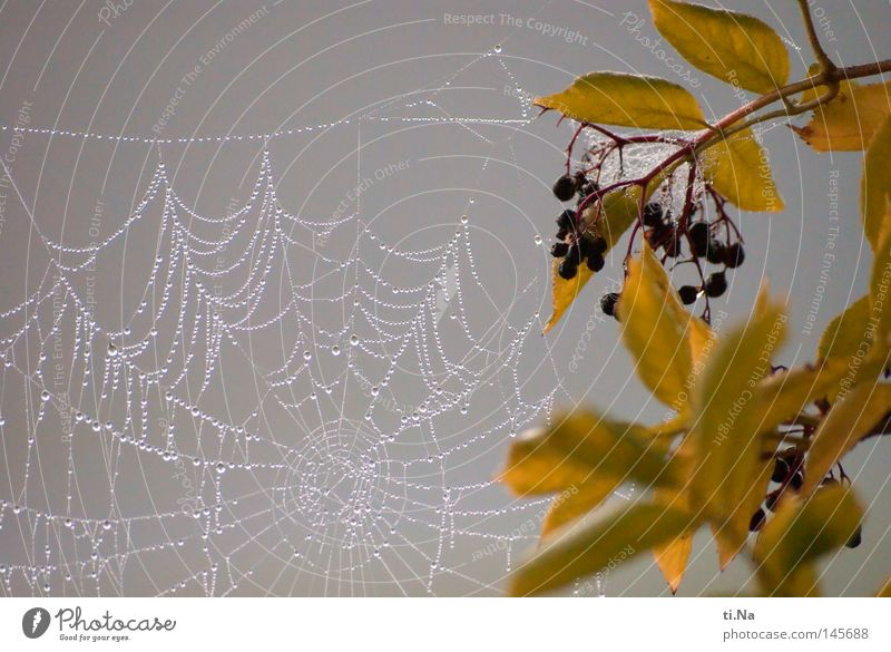 Water Leaf Cold Autumn Gray Fog Drops of water Dew Spider's web Cobwebby Lilac Elder Net