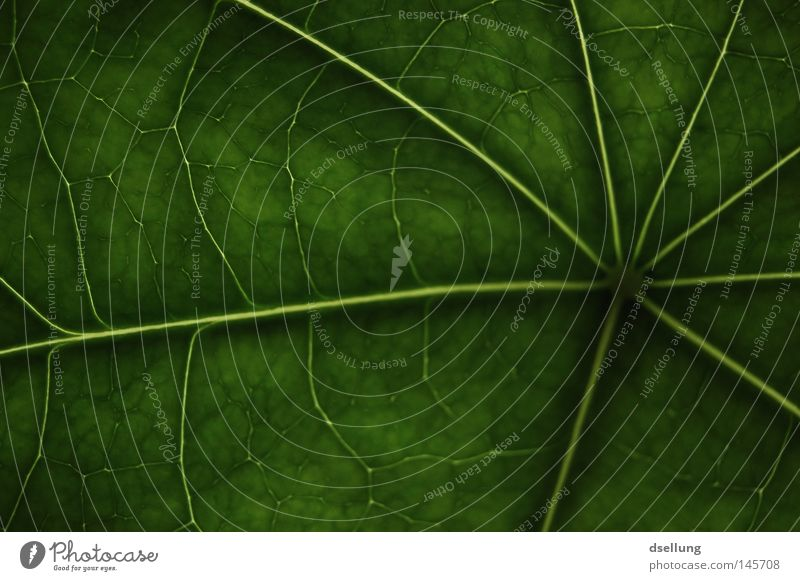 green leaf with strong structures Green Leaf Photosynthesis Glittering Vessel Hope Juice Ecological Pattern Dark Highway Radial Tunnel Golden section Modern